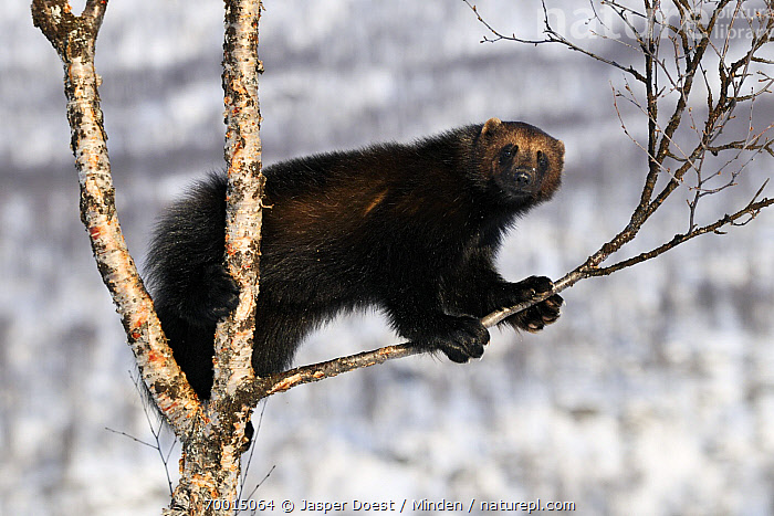 Wolverine (Gulo gulo) in a tree, Norway  ,  Adult, Branch, Climbing, Color Image, Day, Full Length, Gulo gulo, Horizontal, Looking at Camera, Nobody, One Animal, Outdoors, Photography, Side View, Tree, Wildlife, Wolverine,Wolverine,Norway  ,  Jasper Doest