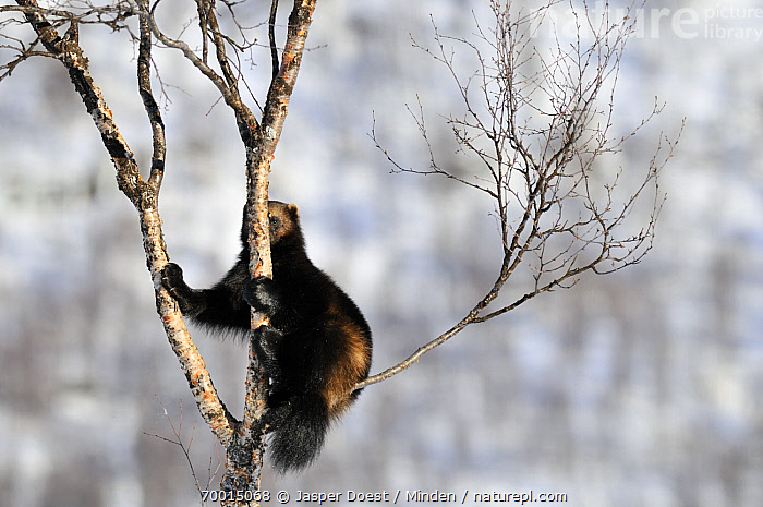 Wolverine (Gulo gulo) climbing in tree, Norway  ,  Adult, Arboreal, Branch, Climbing, Color Image, Day, Full Length, Gulo gulo, Horizontal, Nobody, Norway, One Animal, Outdoors, Photography, Side View, Tree, Wildlife, Wolverine,Wolverine,Norway  ,  Jasper Doest