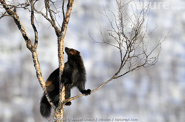 Wolverine (Gulo gulo) climbing in a tree, Norway  ,  Adult, Branch, Climbing, Color Image, Day, Full Length, Gulo gulo, Horizontal, Nobody, One Animal, Outdoors, Photography, Side View, Tree, Wildlife, Wolverine,Wolverine,Norway  ,  Jasper Doest