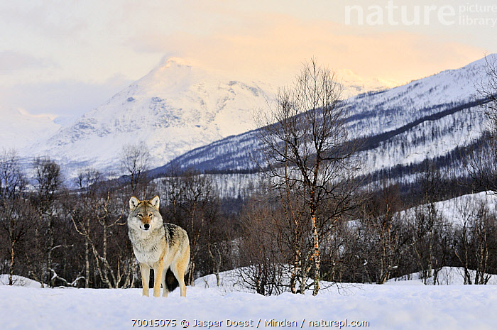 Gray Wolf (Canis lupus) in the snow, Norway  ,  Adult, Animal in Habitat, Canis lupus, Captive, Color Image, Day, Front View, Full Length, Gray Wolf, Horizontal, Looking at Camera, Mountain Range, Nobody, Norway, One Animal, Outdoors, Photography, Snow, Wildlife, Winter,Gray Wolf,Norway  ,  Jasper Doest