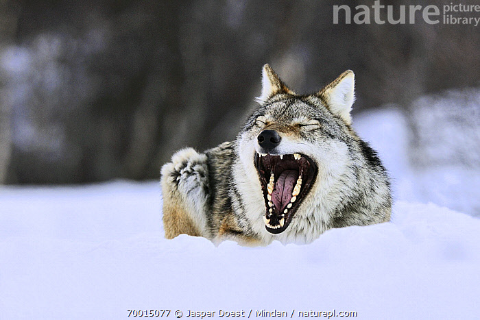 Gray Wolf (Canis lupus) in the snow, Norway  ,  Adult, Canis lupus, Captive, Color Image, Day, Front View, Full Length, Gray Wolf, Horizontal, Nobody, Norway, One Animal, Open Mouth, Outdoors, Photography, Snow, Wildlife, Yawning,Gray Wolf,Norway  ,  Jasper Doest