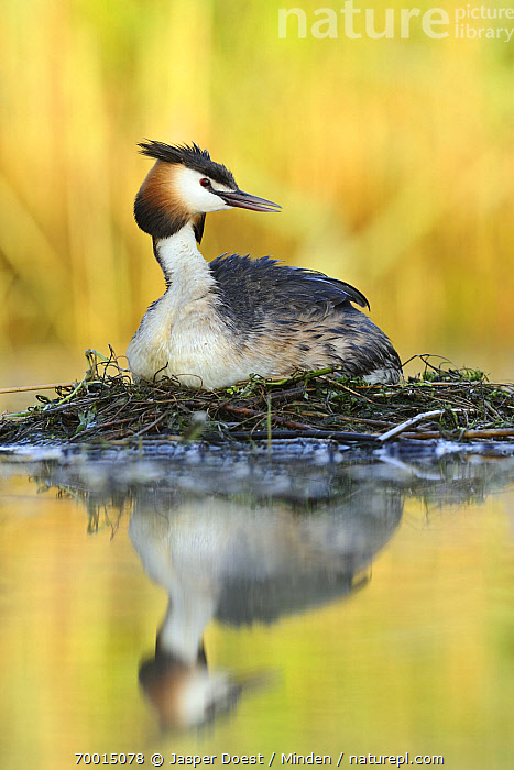 Great Crested Grebe (Podiceps cristatus) on nest, Biesbosch National Park, Netherlands  ,  Adult, Biesbosch National Park, Color Image, Day, Full Length, Great Crested Grebe, Nest, Nobody, One Animal, Outdoors, Photography, Podiceps cristatus, Reflection, Side View, Vertical, Wildlife,Great Crested Grebe,Netherlands  ,  Jasper Doest