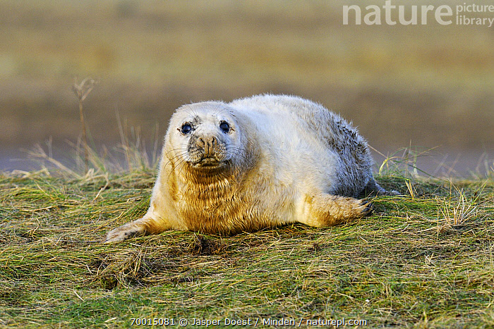 Grey Seal (Halichoerus grypus) juvenile, Donna Nook, Lincolnshire, England  ,  Color Image, Day, Donna Nook, England, Front View, Full Length, Grey Seal, Halichoerus grypus, Horizontal, Juvenile, Lincolnshire, Looking at Camera, Lying, Marine Mammal, Nobody, One Animal, Outdoors, Photography, Wildlife,Grey Seal,England  ,  Jasper Doest