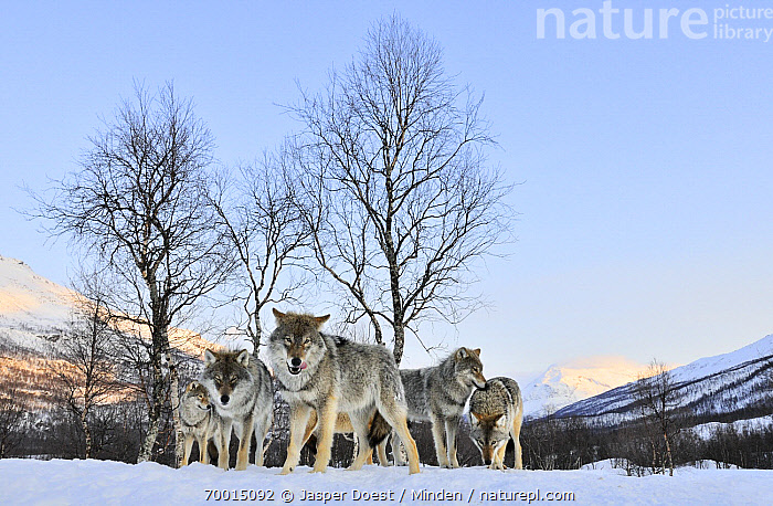 Gray Wolf (Canis lupus) in the snow, Norway  ,  Adult, Animal in Landscape, Canis lupus, Captive, Color Image, Day, Five Animals, Front View, Full Length, Gray Wolf, Horizontal, Looking at Camera, Nobody, Outdoors, Pack, Photography, Snow, Wildlife, Winter,Gray Wolf,Norway  ,  Jasper Doest