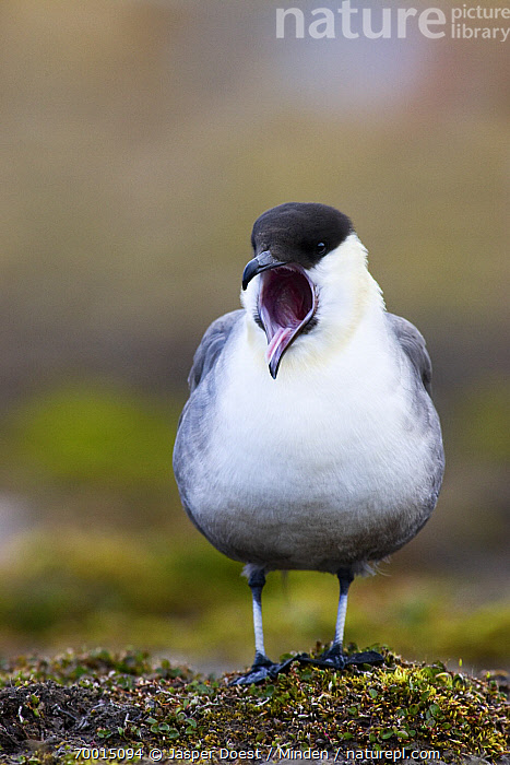 Long-tailed Jaeger (Stercorarius longicaudus) calling, Svalbard, Norway  ,  Adult, Calling, Color Image, Day, Front View, Full Length, Long-tailed Jaeger, Nobody, Norway, One Animal, Open Mouth, Outdoors, Photography, Seabird, Stercorarius longicaudus, Svalbard, Vertical, Wildlife,Long-tailed Jaeger,Norway  ,  Jasper Doest