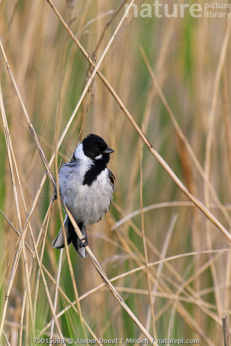 Reed Bunting (Emberiza schoeniclus) male, Midden Delfland, Zuid-Holland, Netherlands  ,  Adult, Color Image, Day, Emberiza schoeniclus, Front View, Full Length, Male, Midden Delfland, Netherlands, Nobody, One Animal, Outdoors, Perched, Photography, Reed Bunting, Songbird, Vertical, Wildlife, Zuid-Holland,Reed Bunting,Netherlands  ,  Jasper Doest