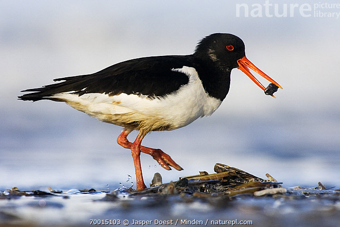 Eurasian Oystercatcher (Haematopus ostralegus) foraging on the beach, Hoek van Holland, Zuid-Holland, Netherlands  ,  Adult, Carrying, Color Image, Day, Eurasian Oystercatcher, Foraging, Full Length, Haematopus ostralegus, Hoek van Holland, Horizontal, Nobody, One Animal, Outdoors, Photography, Prey, Shorebird, Side View, Wildlife, Zuid-Holland,Eurasian Oystercatcher,Netherlands  ,  Jasper Doest
