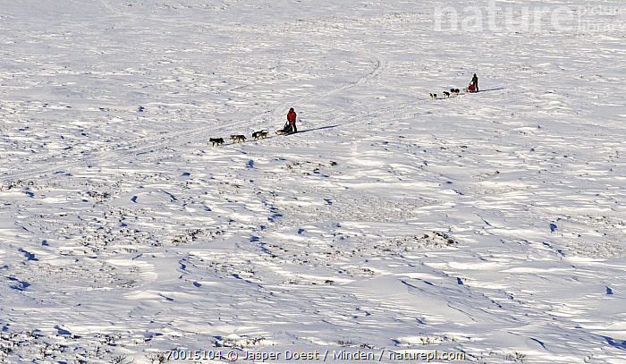 Domestic Dog (Canis familiaris) sled teams, Abisko, Sweden  ,  Abisko, Adult, Aerial View, Canis familiaris, Color Image, Day, Dog Sled, Dog Sledding, Domestic Animal, Domestic Dog, Full Length, High Angle View, Horizontal, Landscape, Large Group of Animals, Outdoors, Photography, Side View, Sled Dog, Snow, Sweden, Two People,Domestic Dog,Sweden  ,  Jasper Doest