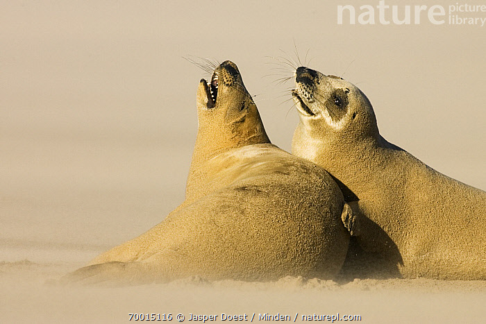 Grey Seal (Halichoerus grypus) pair interacting on beach, Donna Nook, Lincolnshire, United Kingdom  ,  Adult, Color Image, Day, Donna Nook, Full Length, Grey Seal, Halichoerus grypus, Horizontal, Interacting, Lincolnshire, Marine Mammal, Nobody, Open Mouth, Outdoors, Photography, Side View, Two Animals, Vocalizing, Waist Up, Wildlife,Grey Seal,United Kingdom  ,  Jasper Doest