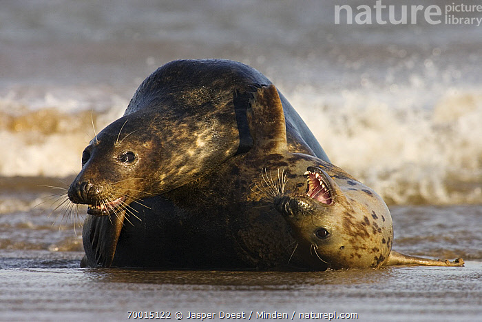 Grey Seal (Halichoerus grypus) pair playing in the surf, Donna Nook, Lincolnshire, United Kingdom  ,  Adult, Color Image, Day, Donna Nook, Front View, Full Length, Grey Seal, Halichoerus grypus, Horizontal, Humor, Interacting, Lincolnshire, Marine Mammal, Nobody, Open Mouth, Outdoors, Pair, Photography, Playing, Rear View, Side View, Splashing, Surf, Two Animals, Wildlife,Grey Seal,United Kingdom  ,  Jasper Doest