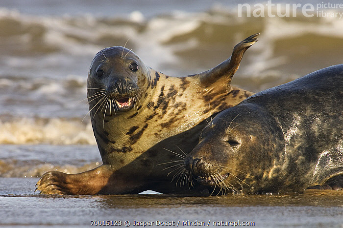 Grey Seal (Halichoerus grypus) pair playing in surf, Donna Nook, Lincolnshire, England  ,  Adult, Beach, Color Image, Day, Donna Nook, England, Front View, Grey Seal, Halichoerus grypus, Head and Shoulders, Horizontal, Lincolnshire, Looking at Camera, Lying, Marine Mammal, Nobody, Outdoors, Photography, Playing, Side View, Two Animals, Waist Up, Wildlife,Grey Seal,England  ,  Jasper Doest