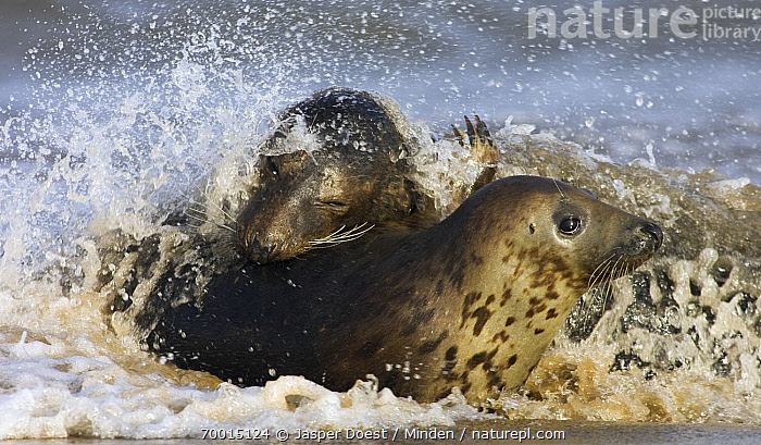 Grey Seal (Halichoerus grypus) playing in surf, Donna Nook, Lincolnshire, England  ,  Adult, Beach, Color Image, Day, Donna Nook, England, Front View, Grey Seal, Halichoerus grypus, Head, Horizontal, Lincolnshire, Marine Mammal, Nobody, Outdoors, Photography, Playing, Side View, Splashing, Two Animals, Waist Up, Wildlife,Grey Seal,England  ,  Jasper Doest
