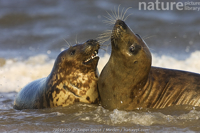 Grey Seal (Halichoerus grypus) playing in the surf, Donna Nook, Lincolnshire, United Kingdom  ,  Adult, Color Image, Day, Donna Nook, Facing, Front View, Full Length, Grey Seal, Halichoerus grypus, Horizontal, Interacting, Lincolnshire, Marine Mammal, Nobody, One Animal, Open Mouth, Outdoors, Pair, Photography, Playing, Rear View, Shallow Water, Side View, Splashing, Surf, Two Animals, Waist Up, Wildlife,Grey Seal,United Kingdom  ,  Jasper Doest