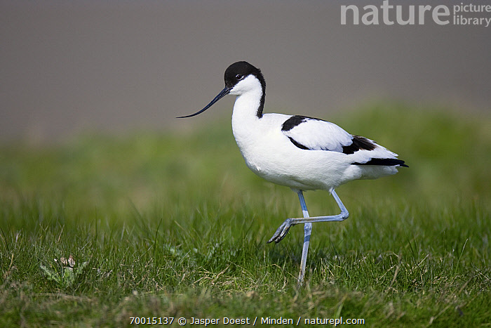 Pied Avocet (Recurvirostra avosetta) in meadow, Texel, Noord-Holland, Netherlands  ,  Adult, Color Image, Day, Full Length, Grass, Horizontal, Meadow, Netherlands, Nobody, Noord-Holland, One Animal, Outdoors, Photography, Pied Avocet, Recurvirostra avosetta, Shorebird, Side View, Standing, Texel, Wildlife,Pied Avocet,Netherlands  ,  Jasper Doest