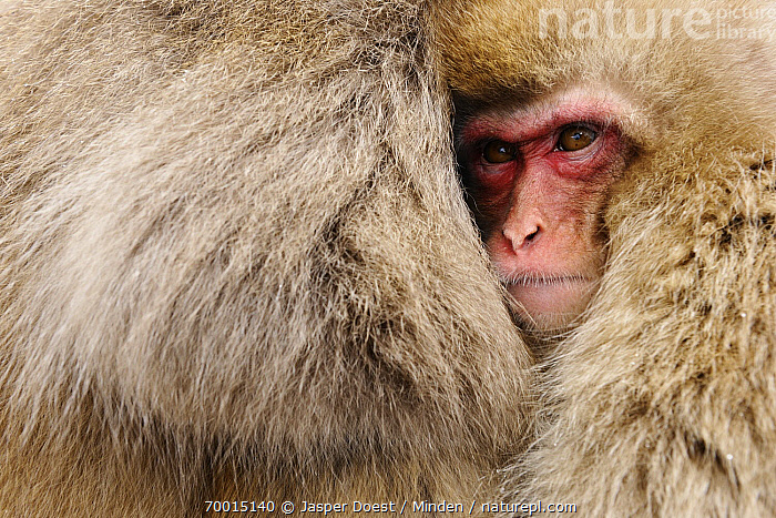 Japanese Macaque (Macaca fuscata) juvenile clinging to its mother, Jigokudani, Joshinetsu Kogen National Park, Japan  ,  Adult, Clinging, Close Up, Color Image, Cute, Day, Face, Female, Full Frame, Fur, Horizontal, Japanese Macaque, Jigokudani, Joshinetsu Kogen National Park, Juvenile, Macaca fuscata, Mother, Nobody, Outdoors, Parent, Photography, Portrait, Side View, Two Animals, Wildlife,Japanese Macaque,Japan  ,  Jasper Doest