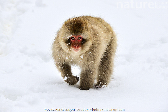Japanese Macaque (Macaca fuscata) walking through snow, Joshinetsu Kogen National Park, Japan  ,  Adult, Approaching, Color Image, Day, Front View, Full Length, Horizontal, Japan, Japanese Macaque, Joshinetsu Kogen National Park, Looking at Camera, Macaca fuscata, Nobody, One Animal, Outdoors, Photography, Snow, Walking, Wildlife, Winter,Japanese Macaque,Japan  ,  Jasper Doest