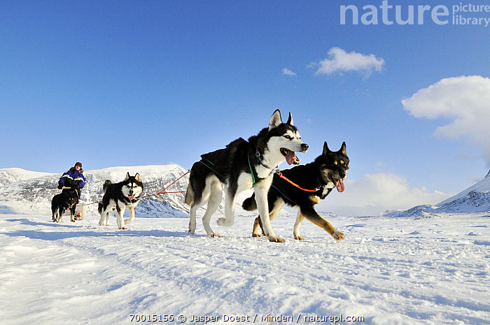 Domestic Dog (Canis familiaris) group in sled team, Abisko, Sweden  ,  Abisko, Canis familiaris, Color Image, Day, Dog Sled, Dog Sledding, Domestic Dog, Four Animals, Full Length, Horizontal, One Person, Outdoors, Photography, Pulling, Running, Side View, Sweden,Domestic Dog,Sweden  ,  Jasper Doest