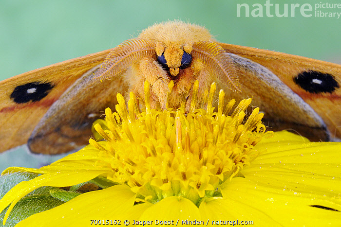 Io Moth (Automeris io) on yellow flower, George West, Texas  ,  Adult, Automeris io, Color Image, Day, Face, Flower, Front View, George West, Horizontal, Io Moth, Looking at Camera, Magnification, Nobody, One Animal, Outdoors, Photography, Pollinating, Portrait, Texas, Three Quarter Length, Wildlife, Yellow,Io Moth,Texas, USA  ,  Jasper Doest