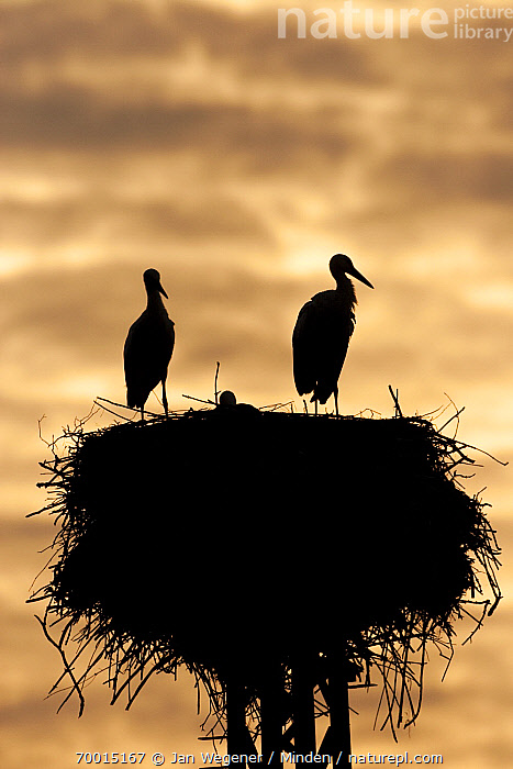 White Stork (Ciconia ciconia) pair on nest at sunset, Berlin, Germany  ,  Adult, Berlin, Ciconia ciconia, Color Image, Day, Full Length, Germany, Low Angle View, Nest, Nobody, Outdoors, Pair, Photography, Rear View, Side View, Silhouette, Sunset, Two Animals, Vertical, Wading Bird, White Stork, Wildlife,White Stork,Germany  ,  Jan Wegener
