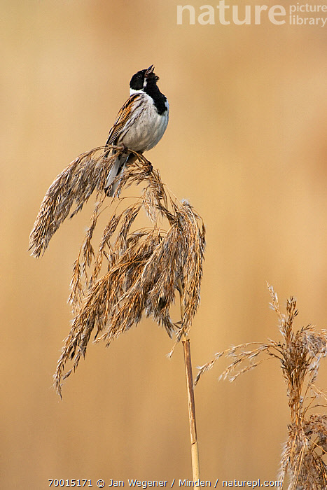 Reed Bunting (Emberiza schoeniclus) male singing on reed, Berlin, Germany  ,  Adult, Berlin, Color Image, Communicating, Day, Emberiza schoeniclus, Full Length, Male, Nobody, One Animal, Outdoors, Photography, Reed Bunting, Side View, Singing, Vertical, Wildlife,Reed Bunting,Germany  ,  Jan Wegener
