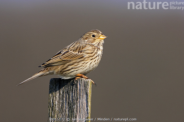 Corn Bunting (Emberiza calandra) male perched on wooden pole, Berlin, Germany  ,  Adult, Berlin, Color Image, Corn Bunting, Day, Emberiza calandra, Full Length, Horizontal, Male, Nobody, Outdoors, Perched, Photography, Pole, Side View, Two Animals, Wildlife,Corn Bunting,Germany  ,  Jan Wegener