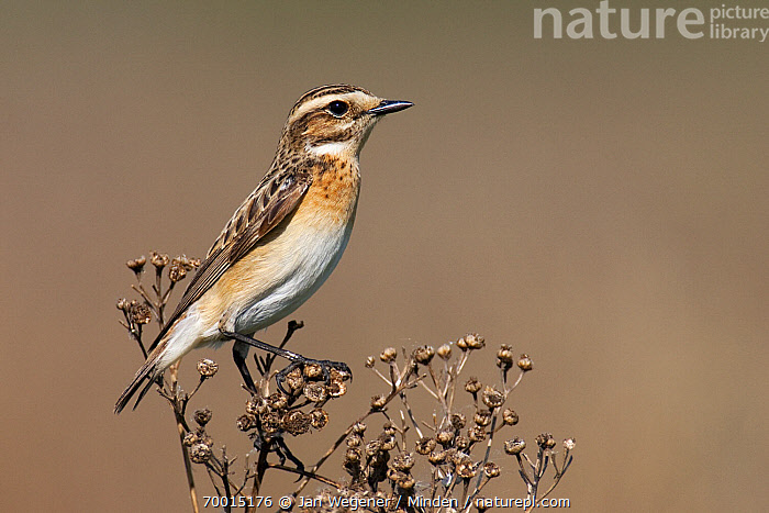 Whinchat (Saxicola rubetra) female perched on dry flowers, Brandenburg, Germany  ,  Adult, Brandenburg, Color Image, Day, Female, Full Length, Horizontal, Nobody, One Animal, Outdoors, Perched, Photography, Saxicola rubetra, Side View, Whinchat, Wildlife,Whinchat,Germany  ,  Jan Wegener