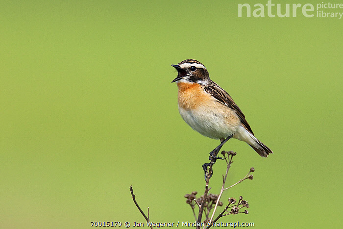 Whinchat (Saxicola rubetra) male singing on dry plant, Brandenburg, Germany  ,  Adult, Brandenburg, Color Image, Day, Full Length, Horizontal, Male, Nobody, One Animal, Outdoors, Photography, Saxicola rubetra, Side View, Singing, Whinchat, Wildlife,Whinchat,Germany  ,  Jan Wegener