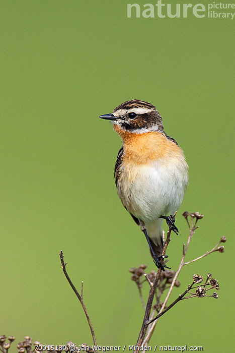 Whinchat (Saxicola rubetra) male, Brandenburg, Germany  ,  Adult, Brandenburg, Color Image, Day, Front View, Full Length, Germany, Male, Nobody, One Animal, Outdoors, Perched, Photography, Saxicola rubetra, Songbird, Vertical, Whinchat, Wildlife,Whinchat,Germany  ,  Jan Wegener