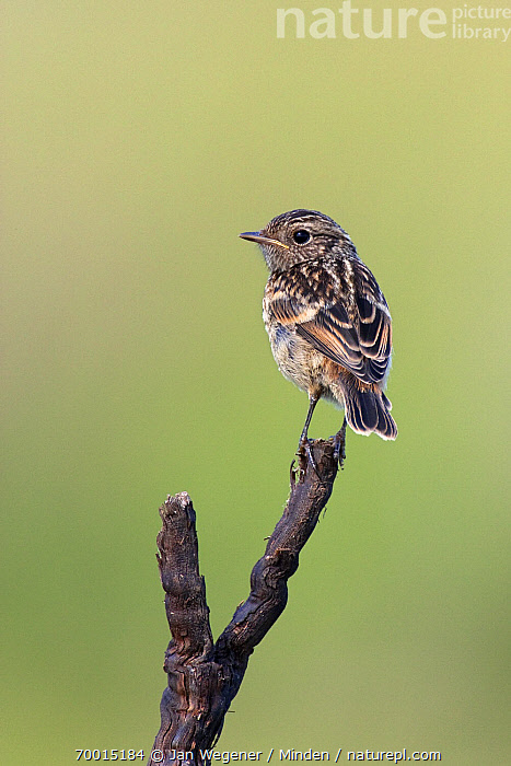 Common Stonechat (Saxicola torquata) juvenile perched on a branch, Lake Neusiedl, Austria  ,  Color Image, Common Stonechat, Day, Full Length, Juvenile, Lake Neusiedl, Nobody, One Animal, Outdoors, Perched, Photography, Rear View, Saxicola torquata, Vertical, Wildlife,Common Stonechat,Austria  ,  Jan Wegener