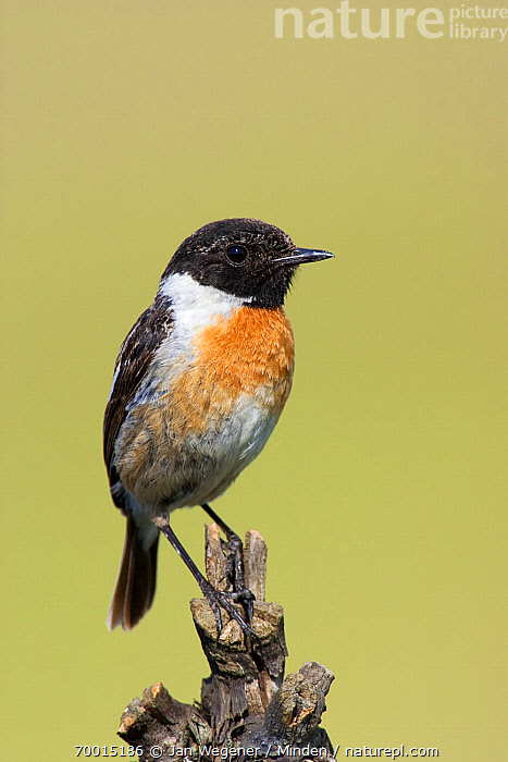 Common Stonechat (Saxicola torquata) male on a branch, Lake Neusiedl, Austria  ,  Adult, Color Image, Common Stonechat, Day, Full Length, Lake Neusiedl, Male, Nobody, One Animal, Outdoors, Perched, Photography, Saxicola torquata, Side View, Vertical, Wildlife,Common Stonechat,Austria  ,  Jan Wegener
