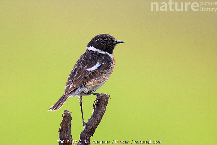 Common Stonechat (Saxicola torquata) male on a branch, Lake Neusiedl, Austria  ,  Adult, Color Image, Common Stonechat, Day, Full Length, Horizontal, Lake Neusiedl, Male, Nobody, One Animal, Outdoors, Perched, Photography, Saxicola torquata, Side View, Wildlife,Common Stonechat,Austria  ,  Jan Wegener