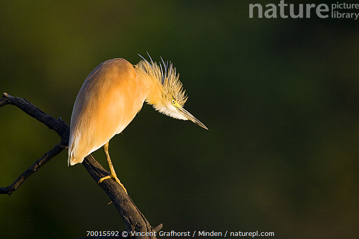 Squacco Heron (Ardeola ralloides), Gaborone Game Reserve, Botswana  ,  Adult, Ardeola ralloides, Color Image, Day, Full Length, Gaborone Game Reserve, Horizontal, Nobody, One Animal, Outdoors, Perched, Photography, Plume, Side View, Squacco Heron, Wading Bird, Wildlife,Squacco Heron,Botswana  ,  Vincent Grafhorst