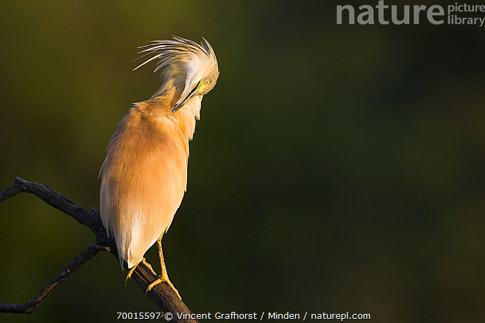 Squacco Heron (Ardeola ralloides) preening, Gaborone Game Reserve, Botswana  ,  Adult, Ardeola ralloides, Botswana, Color Image, Day, Full Length, Gaborone Game Reserve, Horizontal, Nobody, One Animal, Outdoors, Perched, Photography, Preening, Side View, Squacco Heron, Wading Bird, Wildlife,Squacco Heron,Botswana  ,  Vincent Grafhorst