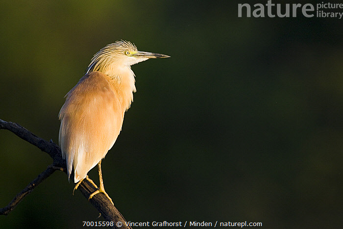 Squacco Heron (Ardeola ralloides), Gaborone Game Reserve, Botswana  ,  Adult, Ardeola ralloides, Botswana, Color Image, Day, Full Length, Gaborone Game Reserve, Horizontal, Nobody, One Animal, Outdoors, Photography, Side View, Squacco Heron, Wading Bird, Wildlife,Squacco Heron,Botswana  ,  Vincent Grafhorst