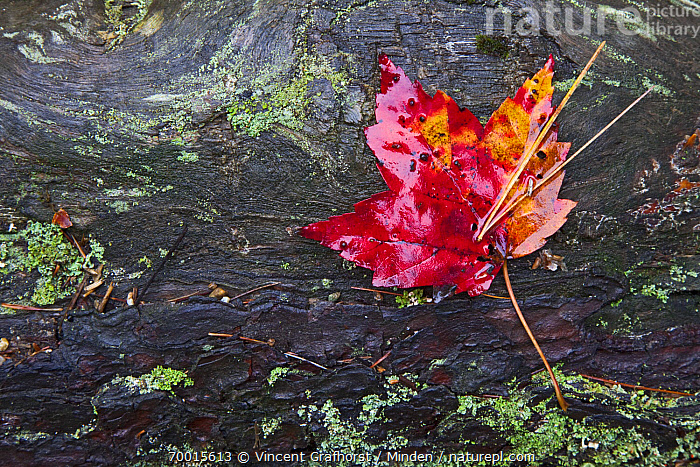 Maple (Acer sp) leaf on lichen covered tree trunk, Maine  ,  Acer sp, Autumn Color, Color Image, Day, Foliage, Horizontal, Leaf, Maine, Maple, Nobody, Outdoors, Photography, Red,Maple,Maine, USA  ,  Vincent Grafhorst