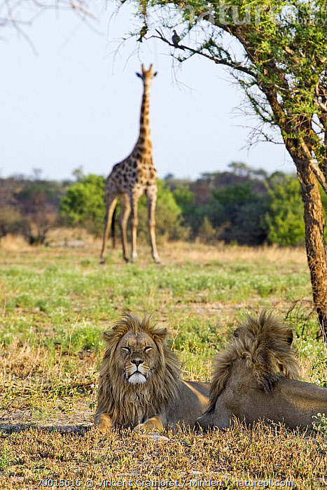 African Lion (Panthera leo) group looking at Southern Giraffe (Giraffa giraffa) in distance, Khutse Game Reserve, Botswana  ,  Adult, African Lion, Animal in Habitat, Botswana, Color Image, Day, Front View, Giraffe, Khutse Game Reserve, Looking at Camera, Male, Nobody, Outdoors, Panthera leo, Photography, Rear View, Resting, Savanna, Threatened Species, Three Animals, Vertical, Vulnerable Species, Waist Up, Watchful, Wildlife,African Lion,Southern Giraffe,Giraffa giraffa,Botswana  ,  Vincent Grafhorst
