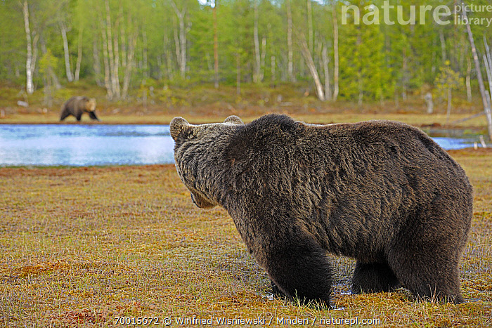 Brown Bear (Ursus arctos) male looking across lake at a female, Finland  ,  Adult, Brown Bear, Color Image, Day, Female, Full Length, Horizontal, Lake, Male, Nobody, Outdoors, Photography, Side View, Two Animals, Ursus arctos, Watchful, Watching, Wildlife,Brown Bear,Finland  ,  Winfried Wisniewski