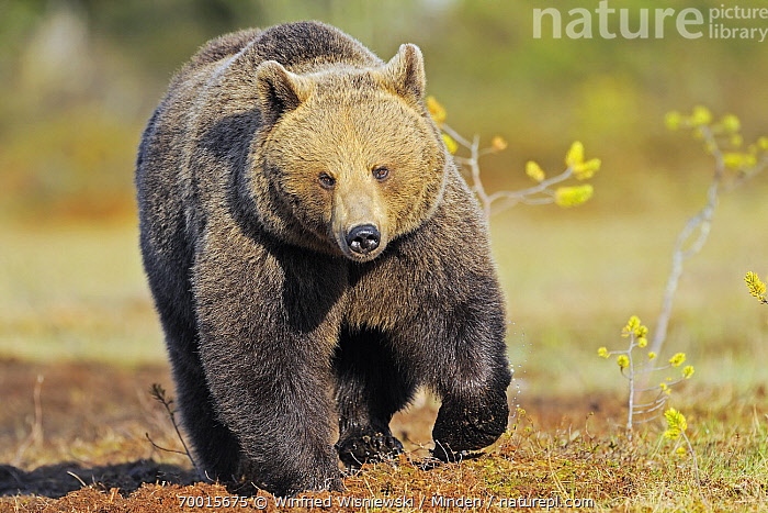 Brown Bear (Ursus arctos) walking, Finland  ,  Adult, Approaching, Brown Bear, Color Image, Day, Finland, Front View, Full Length, Horizontal, Looking at Camera, Nobody, One Animal, Outdoors, Photography, Ursus arctos, Walking, Wildlife,Brown Bear,Finland  ,  Winfried Wisniewski