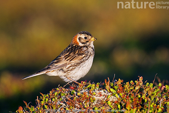 Lapland Bunting (Calcarius lapponicus) female, Varanger Peninsula, Norway  ,  Adult, Calcarius lapponicus, Color Image, Day, Female, Full Length, Horizontal, Lapland Bunting, Nobody, Norway, One Animal, Outdoors, Photography, Side View, Songbird, Varanger Peninsula, Wildlife,Lapland Bunting,Norway  ,  Jan Wegener