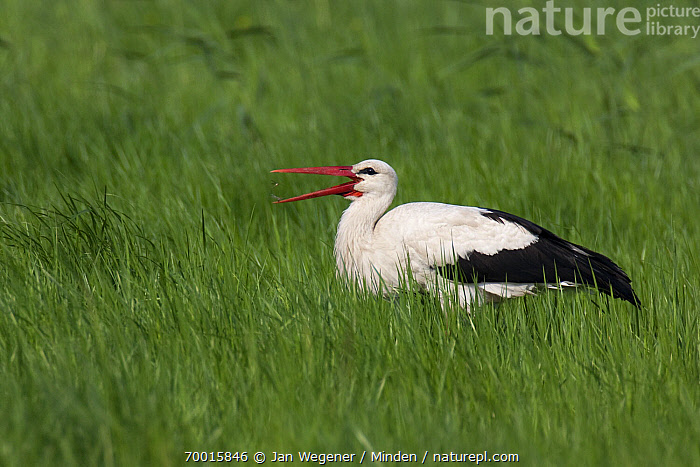 White Stork (Ciconia ciconia) catching insects, Lake Neusiedl, Austria  ,  Adult, Austria, Ciconia ciconia, Color Image, Day, Foraging, Full Length, Grass, Horizontal, Lake Neusiedl, Meadow, Nobody, One Animal, Open Mouth, Outdoors, Photography, Side View, Wading Bird, White Stork, Wildlife,White Stork,Austria  ,  Jan Wegener