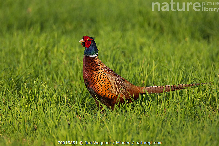Ring-necked Pheasant (Phasianus colchicus) male, Lake Neusiedl, Austria  ,  Adult, Color Image, Day, Full Length, Gamebird, Horizontal, Lake Neusiedl, Male, Nobody, One Animal, Outdoors, Phasianus colchicus, Photography, Ring-necked Pheasant, Side View, Wildlife,Ring-necked Pheasant,Austria  ,  Jan Wegener