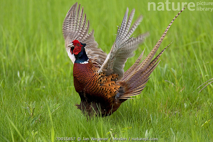 Ring-necked Pheasant (Phasianus colchicus) male showing courtship behavior, Lake Neusiedl, Austria. Sequence 4 of 4  ,  Adult, Color Image, Courting, Day, Displaying, Flapping, Front View, Full Length, Gamebird, Horizontal, Lake Neusiedl, Male, Nobody, One Animal, Outdoors, Phasianus colchicus, Photography, Ring-necked Pheasant, Sequence, Wildlife,Ring-necked Pheasant,Austria  ,  Jan Wegener