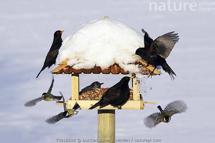 Eurasian Blackbird (Turdus merula) feeding on bird table together with Great Tits (Parus major), Lower Saxony, Germany  ,  Adult, Bird Feeder, Color Image, Day, Difference, Eurasian Blackbird, Full Length, Germany, Great Tit, Horizontal, Lower Saxony, Medium Group of Animals, Mixed, Nobody, Outdoors, Parus major, Photography, Side View, Snow, Songbird, Turdus merula, Wildlife, Winter,Eurasian Blackbird,Great Tit,Parus major,Germany  ,  Duncan Usher