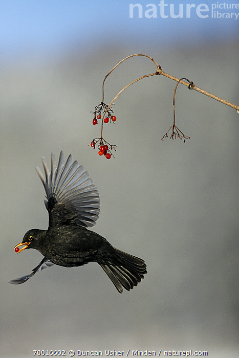 Eurasian Blackbird (Turdus merula) male flying with red berry, Lower Saxony, Germany  ,  Adult, Color Image, Day, Eurasian Blackbird, Flying, Full Length, Germany, Lower Saxony, Male, Nobody, One Animal, Outdoors, Photography, Side View, Songbird, Turdus merula, Vertical, Wildlife,Eurasian Blackbird,Germany  ,  Duncan Usher