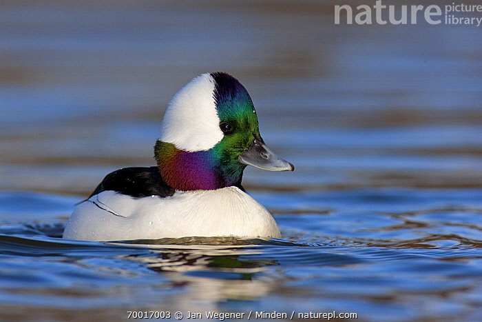 Bufflehead (Bucephala albeola) drake on the water, Vancouver, British Columbia, Canada  ,  Adult, Bucephala albeola, Bufflehead, Color Image, Day, Drake, Duck, Full Length, Horizontal, Male, Nobody, One Animal, Outdoors, Photography, Side View, Swimming, Vancouver, Waterfowl, Wildlife,Bufflehead,Canada  ,  Jan Wegener
