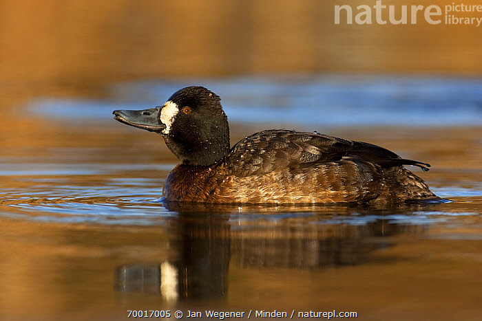 Lesser Scaup (Aythya affinis) juvenile male drinking, Vancouver, British Columbia, Canada  ,  Aythya affinis, British Columbia, Canada, Color Image, Day, Drinking, Duck, Full Length, Horizontal, Juvenile, Lesser Scaup, Male, Nobody, One Animal, Outdoors, Photography, Side View, Vancouver, Wading Bird, Wildlife,Lesser Scaup,Canada  ,  Jan Wegener