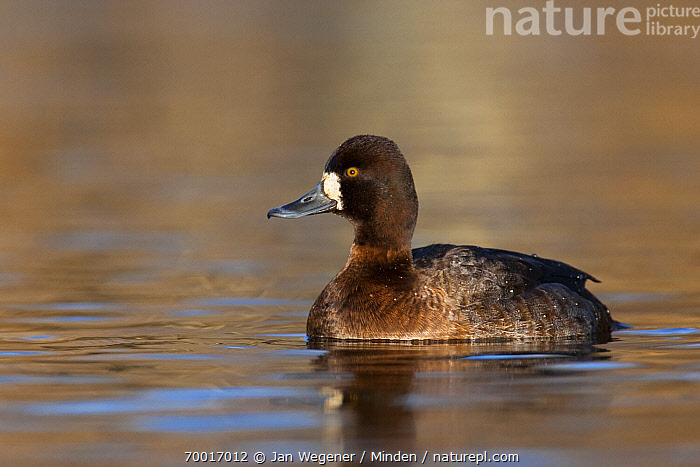 Lesser Scaup (Aythya affinis) female, Vancouver, British Columbia, Canada  ,  Adult, Aythya affinis, British Columbia, Canada, Color Image, Day, Female, Full Length, Horizontal, Lesser Scaup, Nobody, One Animal, Outdoors, Photography, Side View, Vancouver, Waterfowl, Wildlife,Lesser Scaup,Canada  ,  Jan Wegener