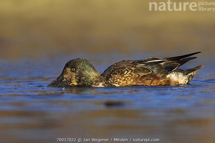 Northern Shoveler (Anas clypeata) juvenile drake in molt, Vancouver, British Columbia, Canada  ,  Anas clypeata, British Columbia, Canada, Color Image, Day, Drake, Duck, Feeding, Foraging, Full Length, Horizontal, Juvenile, Male, Molting, Nobody, Northern Shoveler, One Animal, Outdoors, Photography, Side View, Vancouver, Waterfowl, Wildlife,Northern Shoveler,Canada  ,  Jan Wegener