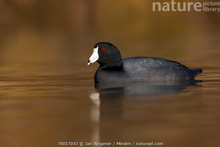 American Coot (Fulica americana) on water, Vancouver, British Columbia, Canada  ,  Adult, American Coot, British Columbia, Canada, Color Image, Day, Duck, Fulica americana, Full Length, Horizontal, Nobody, One Animal, Outdoors, Photography, Side View, Vancouver, Waterfowl, Wildlife,American Coot,Canada  ,  Jan Wegener