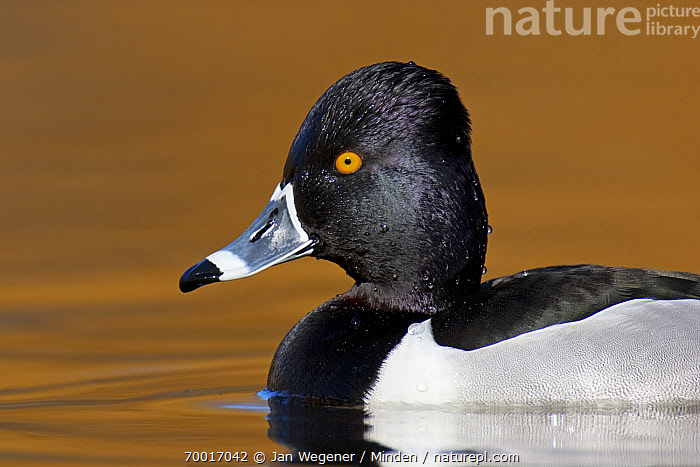 Ring-necked Duck (Aythya collaris) drake on water, Vancouver, British Columbia, Canada  ,  Adult, Aythya collaris, British Columbia, Canada, Color Image, Day, Drake, Duck, Horizontal, Male, Nobody, One Animal, Outdoors, Photography, Ring-necked Duck, Side View, Vancouver, Waist Up, Waterfowl, Wildlife,Ring-necked Duck,Canada  ,  Jan Wegener